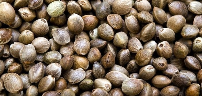 Introduction to Cannabis Seeds
