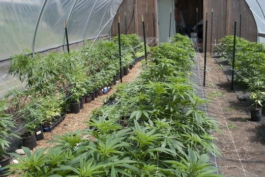 African Medical Marijuana A Huge Opportunity