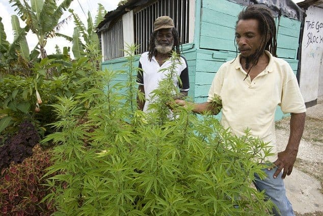 Jamaican Marijuana Farmers Struggle Under Country's Policies