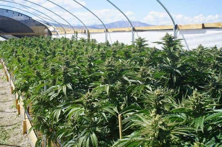 Concerns Mount Over Marijuana Crop Expansion