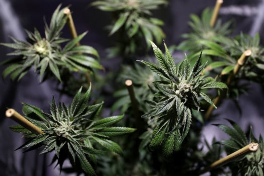 DEA to Announce Expansion of Federally Funded Cannabis for Research, marijuana news