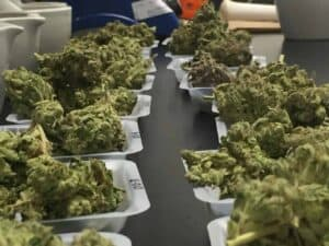 legislating hemp and cannabis