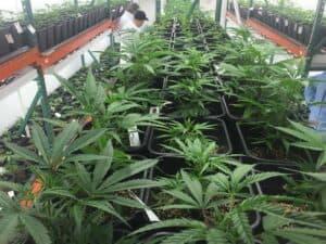 product for a marijuana dispensary