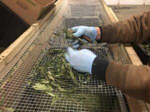 Worker handling cannabis